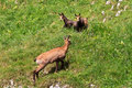 Chamois (Rupicapra Carpatica) Photo stock