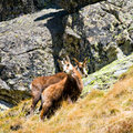 Chamois rupicapra carpatica in mountain high tatras poland Stock Image