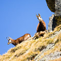 Chamois rupicapra carpatica in mountain high tatras poland Stock Photo