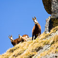 Chamois rupicapra carpatica in mountain high tatras poland Royalty Free Stock Photos