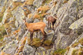 Chamois rupicapra in mountain its natural environment parent and cub Royalty Free Stock Photo