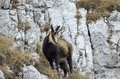 Chamois rupicapra rupicapra curious in natural environment Royalty Free Stock Photo