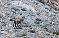 Chamois rupicapra rupicapra looking back in natural environment in teh south french alps Stock Photo
