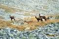 Chamois, wild mountain Royalty Free Stock Photo