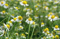 Chamomile chamomiles and green grass in the nature shallow depth of field Stock Image