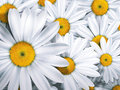 Chamomile close up summer background Royalty Free Stock Photo