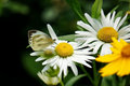 Chamomile closeup on a butterfly pollination eastphoto tukuchina still life Royalty Free Stock Images