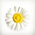 Chamomile computer illustration on white background Stock Images