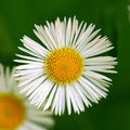 Chamomile daisy flower macro on a background of grass Stock Photo