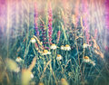Chamomile daisy and purple flowers meadow wild Stock Images