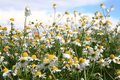 Chamomile field and blue sky Royalty Free Stock Photo