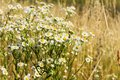 Chamomile field at summer time Stock Images