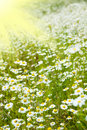 Chamomile field and sun rays Stock Images