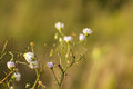 Chamomile in the field Royalty Free Stock Photo