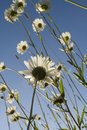 Chamomile in the field. White daisies in the meadow. Flowers in the spring. Royalty Free Stock Photo