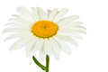 Chamomile flower  Royalty Free Stock Photo