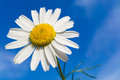 Chamomile flower with blue sky in background Royalty Free Stock Photo