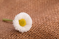 Chamomile flower on brown background white Royalty Free Stock Image