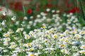 Chamomile flower field Royalty Free Stock Photo