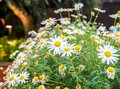 stock image of  Chamomile flower at the Flower dome in Garden By The Bay.