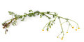 stock image of  Chamomile flower isolated on white background