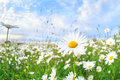 Chamomile flower over blue sky Royalty Free Stock Photo