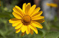 Chamomile flower photo of a yellow Royalty Free Stock Photography