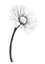 Chamomile flower sketch, vector hand drawing