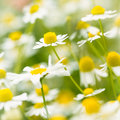 Chamomile Flowers Royalty Free Stock Image
