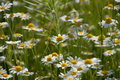 Chamomile flowers in bloom Stock Images