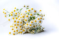 Chamomile flowers bouquet on white background Royalty Free Stock Photo