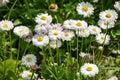 Chamomile flowers. camomile, daisy wheel, daisy chain, chamomel Royalty Free Stock Photo