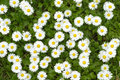 Chamomile flowers closeup Royalty Free Stock Photo