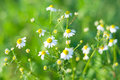 Chamomile flowers closeup of with selective focus Royalty Free Stock Photo