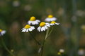 Chamomile flowers. Royalty Free Stock Photo