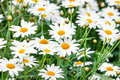 Chamomile flowers on the field with green grass Stock Photography