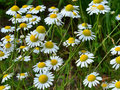 Chamomile flowers field Royalty Free Stock Photo