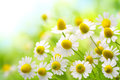 Chamomile flowers field of in the nature Royalty Free Stock Photos