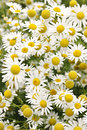 Chamomile flowers flowering growing in summer meadow close up Royalty Free Stock Photography