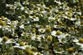 stock image of  Chamomile Flowers and Grasses Blossom Beautifully