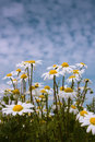 Chamomile flowers grow to the sky from a low point of view a picture of against Stock Photos