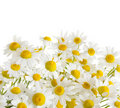 Chamomile flowers isolated on white Royalty Free Stock Photos