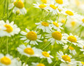 Chamomile flowers on the meadow close up Stock Photography