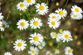 Chamomile flowers in the meadow,closeup detail Royalty Free Stock Photo