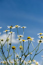 Chamomile flowers over the bright blue sky Royalty Free Stock Photo