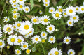 Chamomile flowers summer day closeup Royalty Free Stock Photo