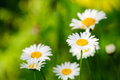 Chamomile fresh flowers Stock Image