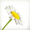 Chamomile illustration on white background Stock Image