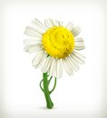 Chamomile illustration on white background Stock Images