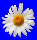 Chamomile isolated on blue background close up view Stock Photos